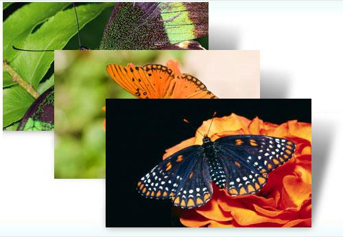 Get free Butterflies theme